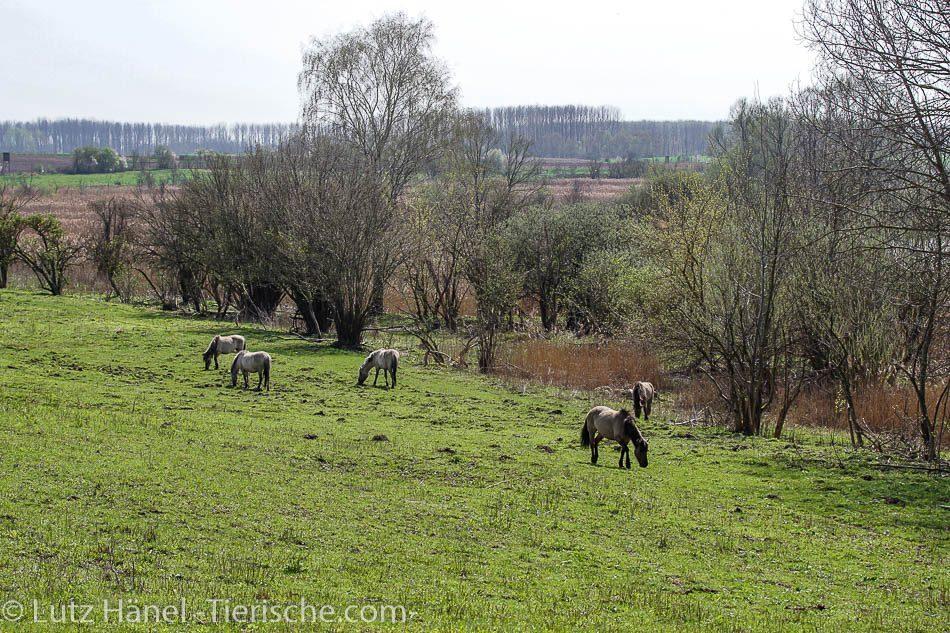Schönerlinder Teiche mit der Konik Gruppe Wildpferde in der tollen Natur Landschaft.