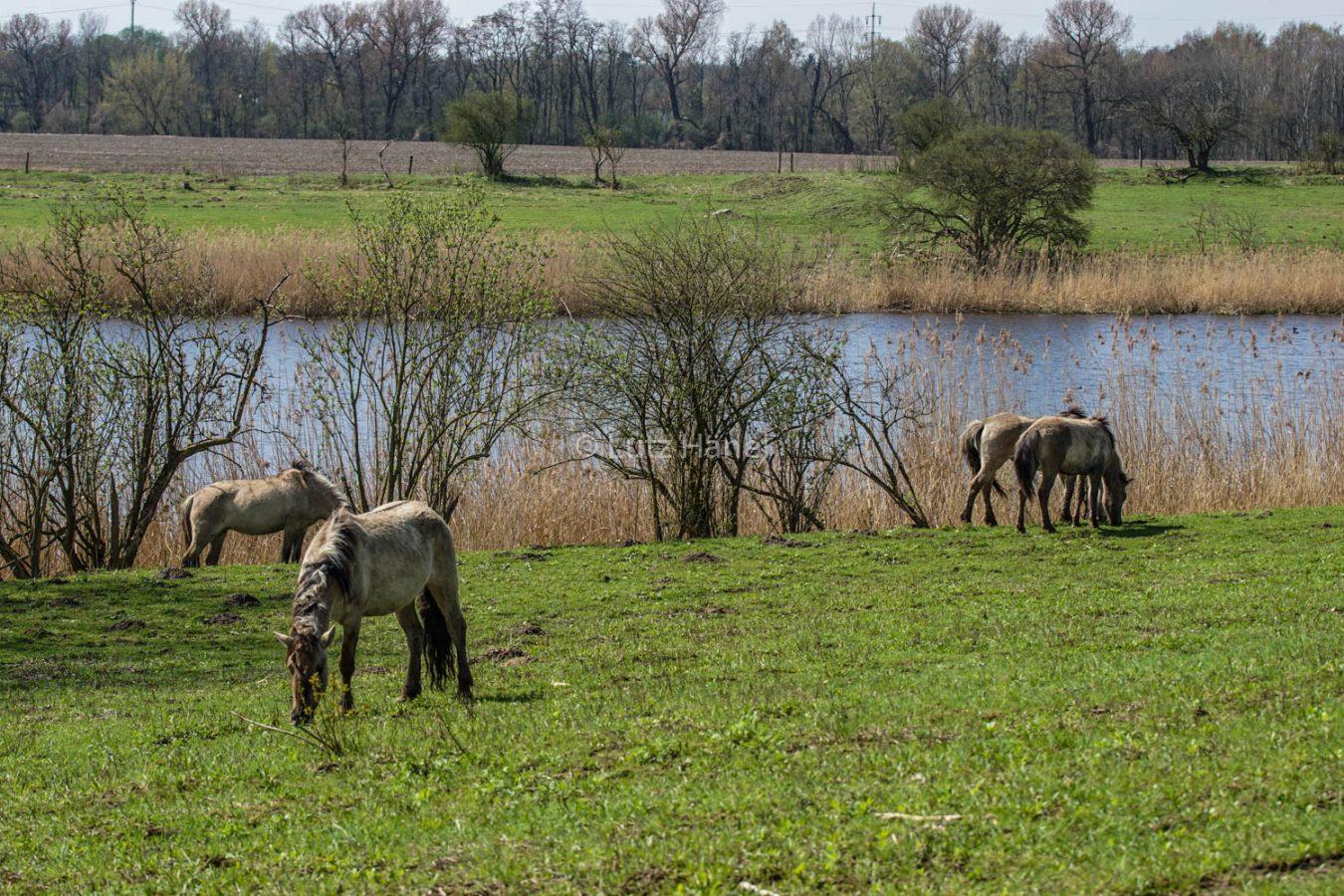 Konik Wildpferde an den Schönerlinder Teiche beobachren.
