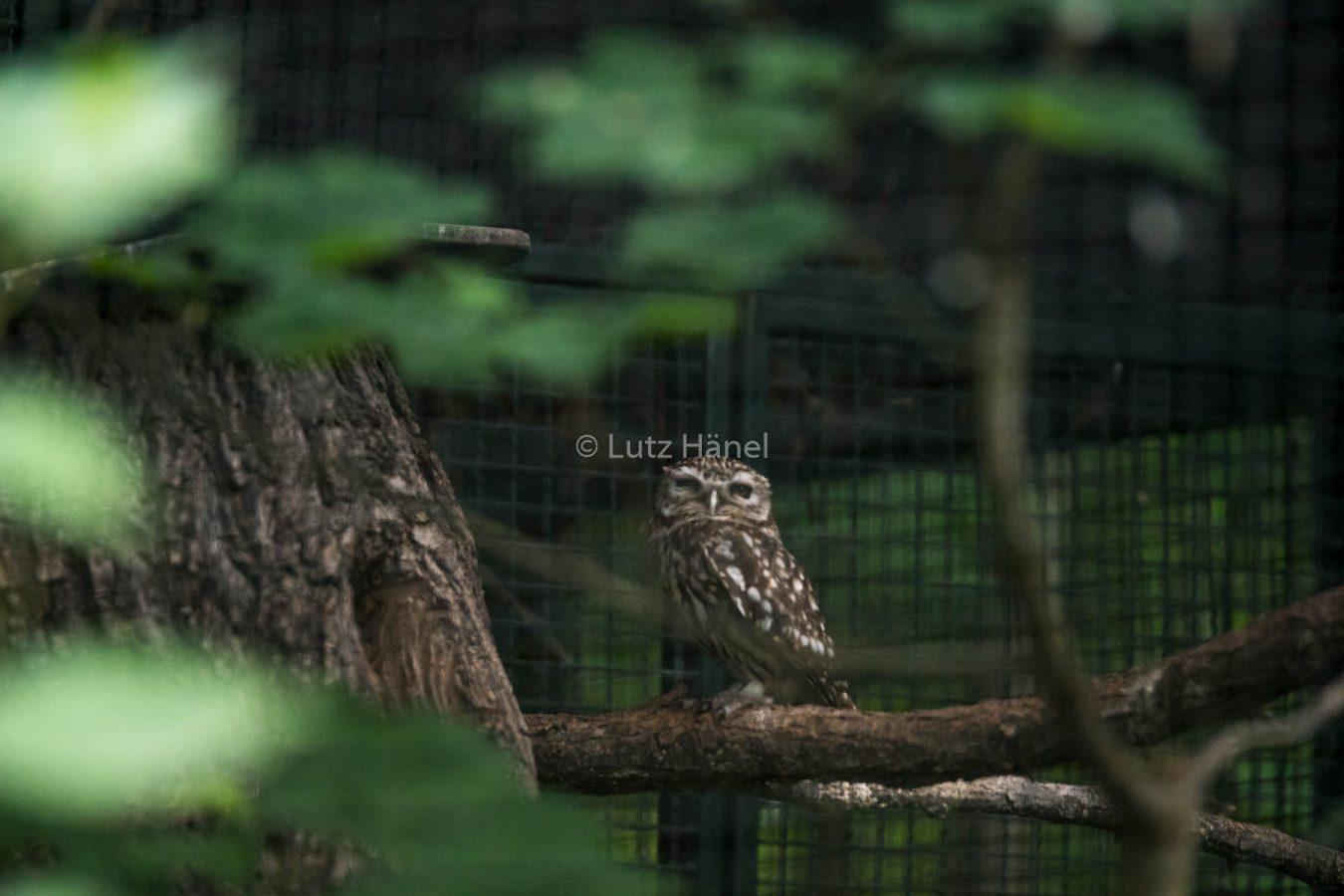 Dieses Habichtskauz Foto wirkt ein wenig als ob es in der Wildnis entstanden ist. Es ist im Tierpark von Berlin entstanden.
