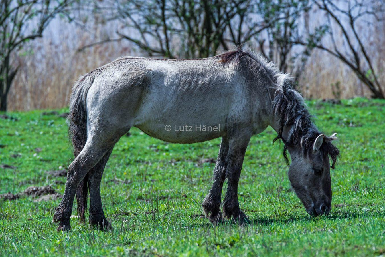 Schönerlinder Teichlandschaft mit Wildpferd°