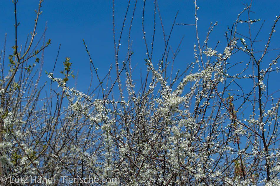 Schönerlinder Teiche im Frühling Baum in toller Bluetenpracht.