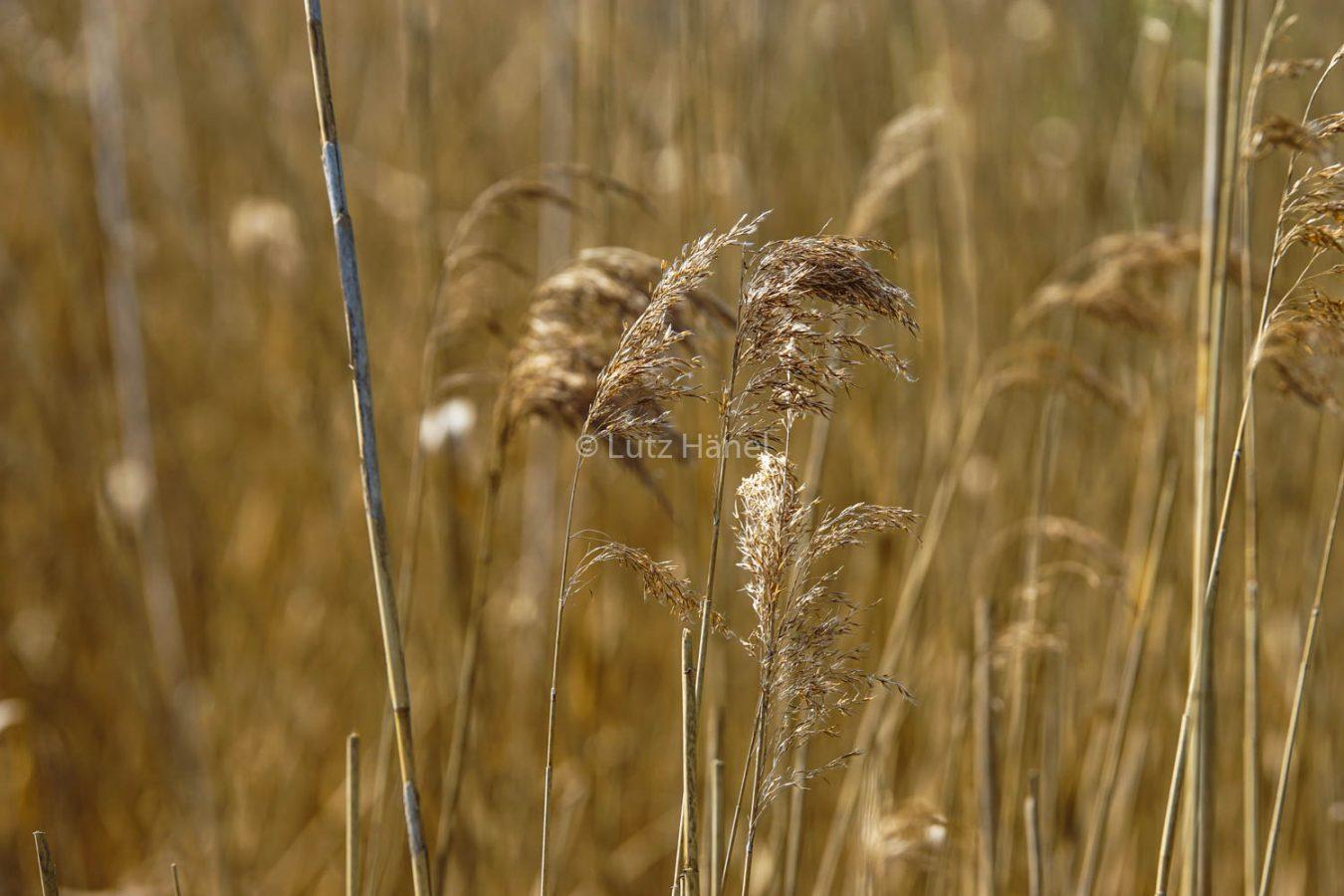 Schönerlinder Teiche Schilf Gräser