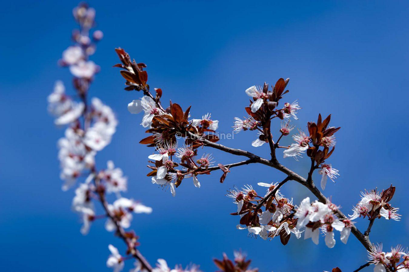 Mühlenbecker Land in der Blüte der Apfelbäüme