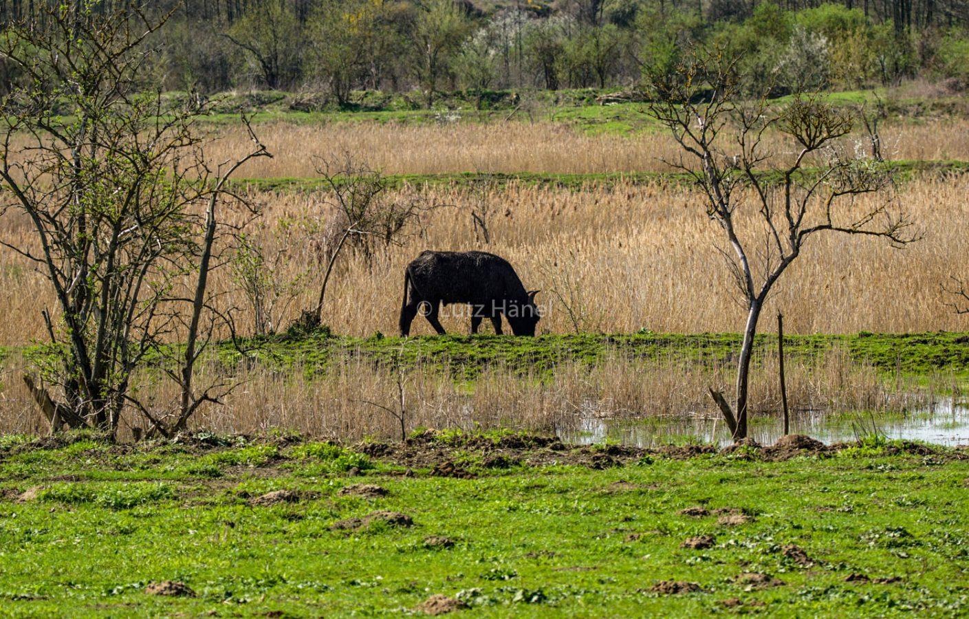Wasserbüffel beobachten.