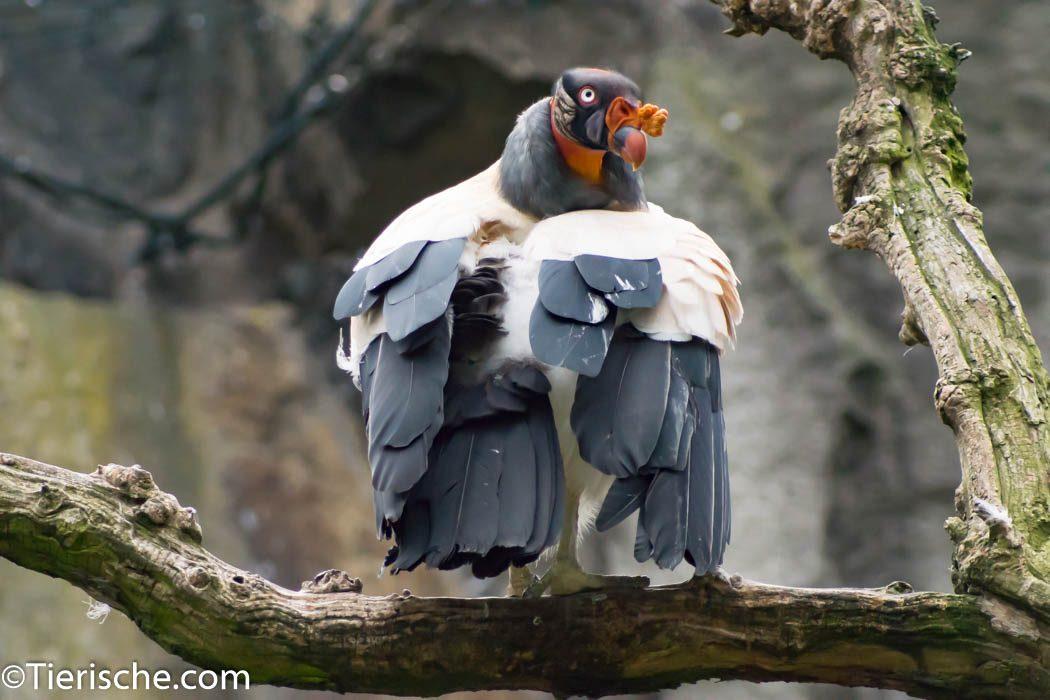 Königsgeier sind von ihren Erscheinung sehr imposante Raubvögel
