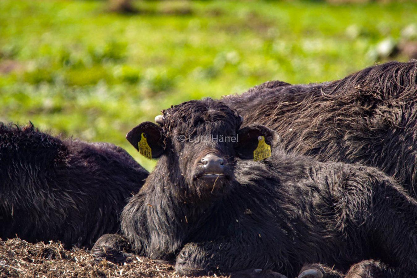 die jungen Wasserbüffel wachsen heran