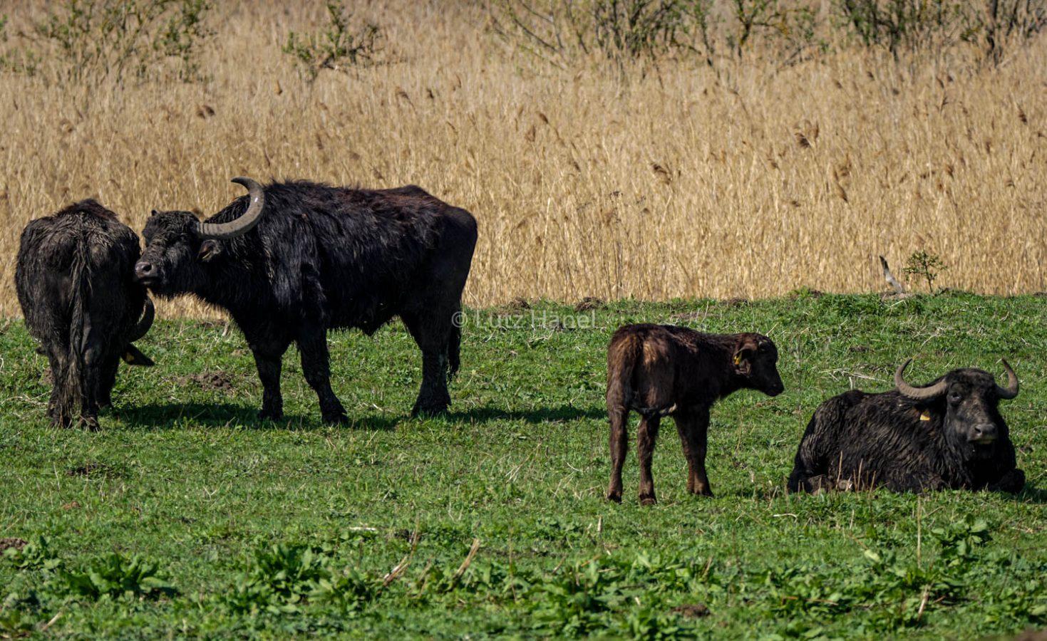 Wasserbüffel im Mühlenbecker Land