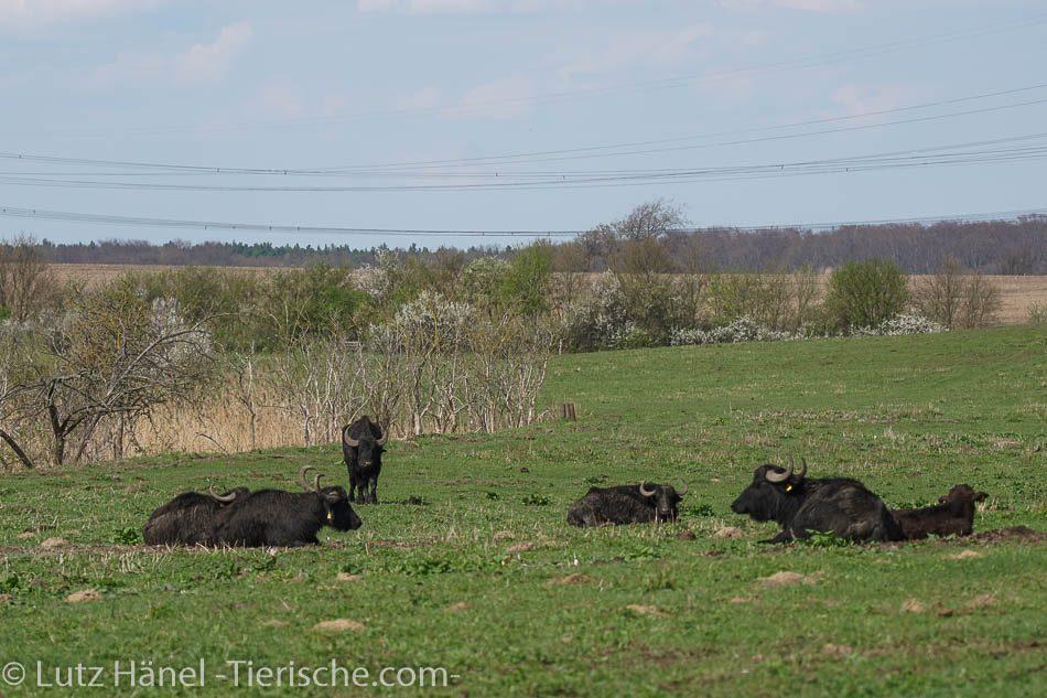 Wasserbüffel-Herde bei hrer Vester
