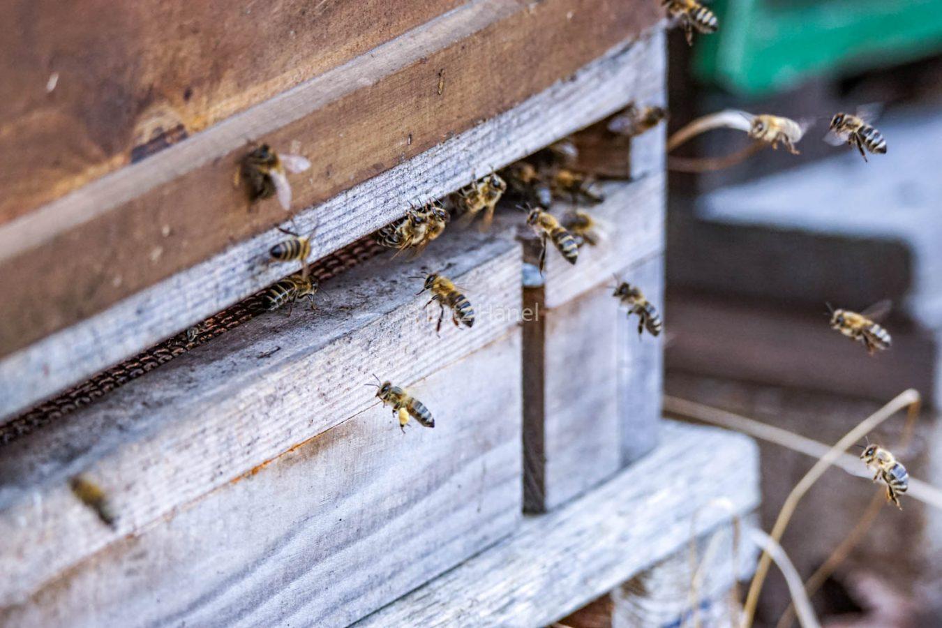 Bienen im Mühlenbecker Land in Mühlenbeck-Mönchmühle