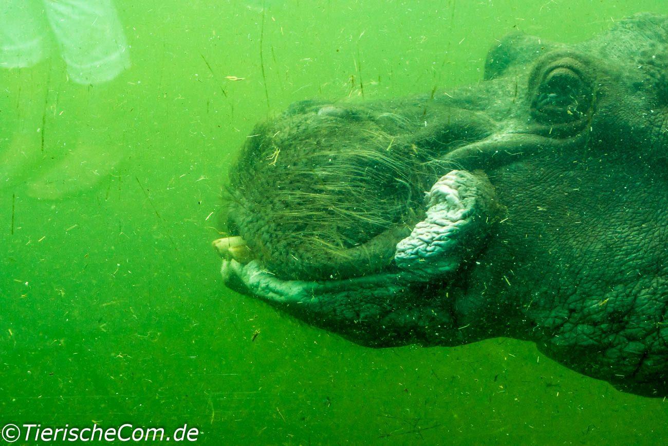 Flusspferd unter Wasser Foto ist im Zoo Berlin entstanden