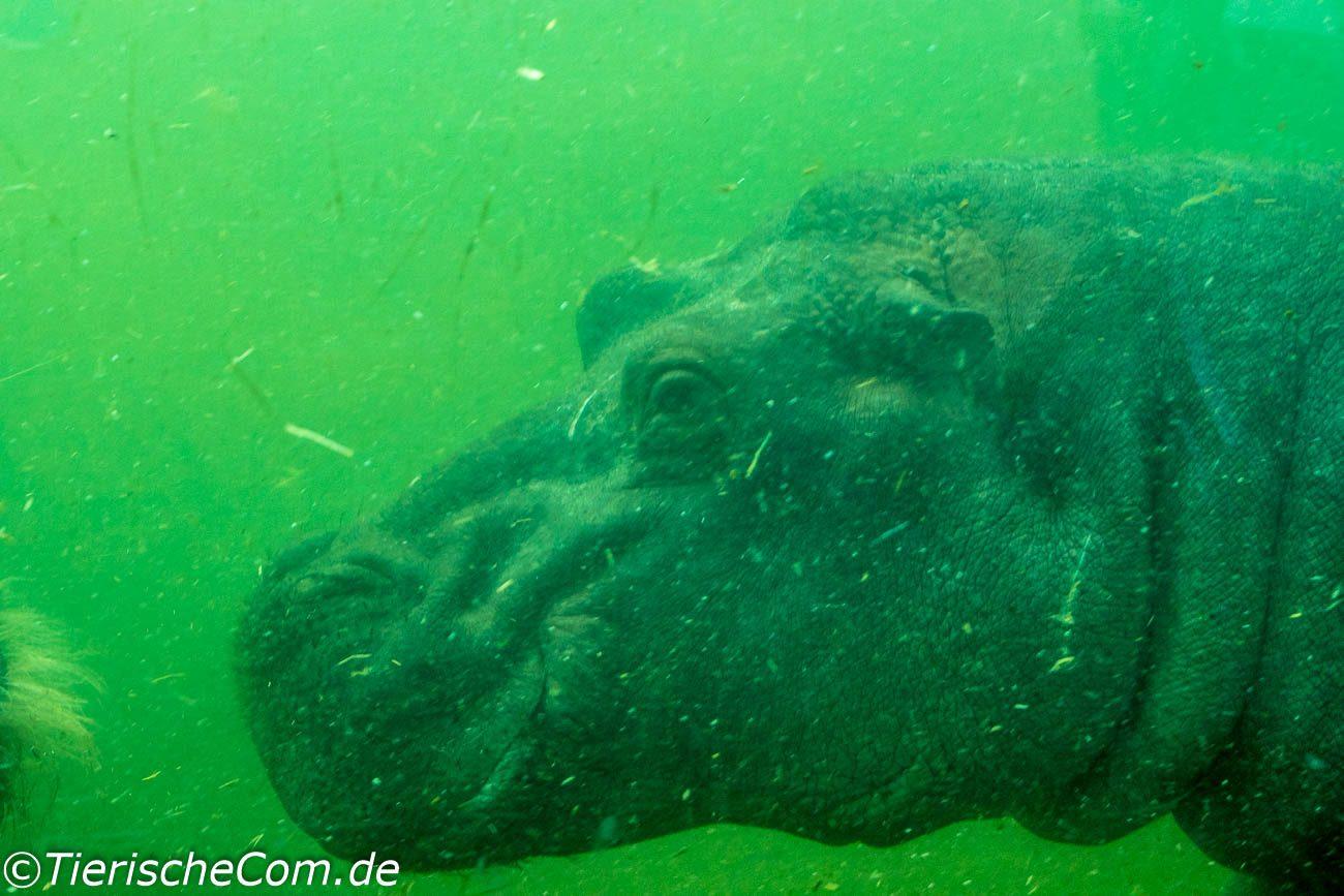 Foto ist im Zoo Berlin in der Flusspferdanlage entstanden.
