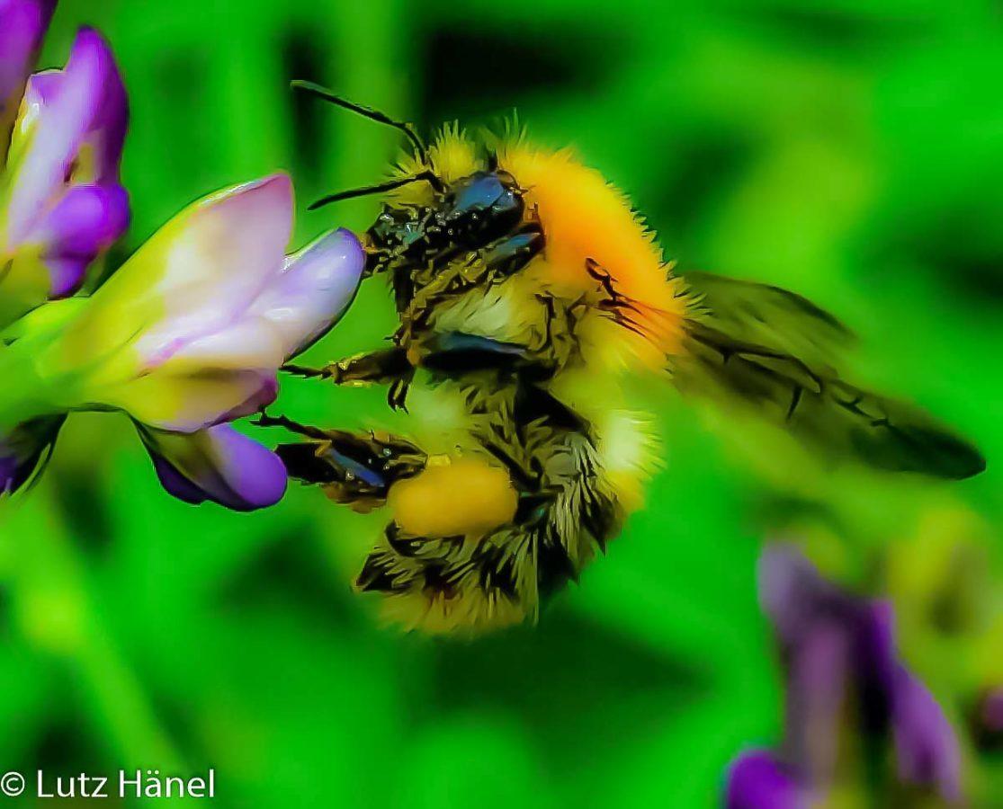 Wild Biene emsig beim Nektar sammeln