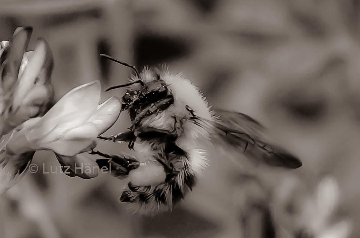 Wild Biene in schwarz & weiß Aufnahme