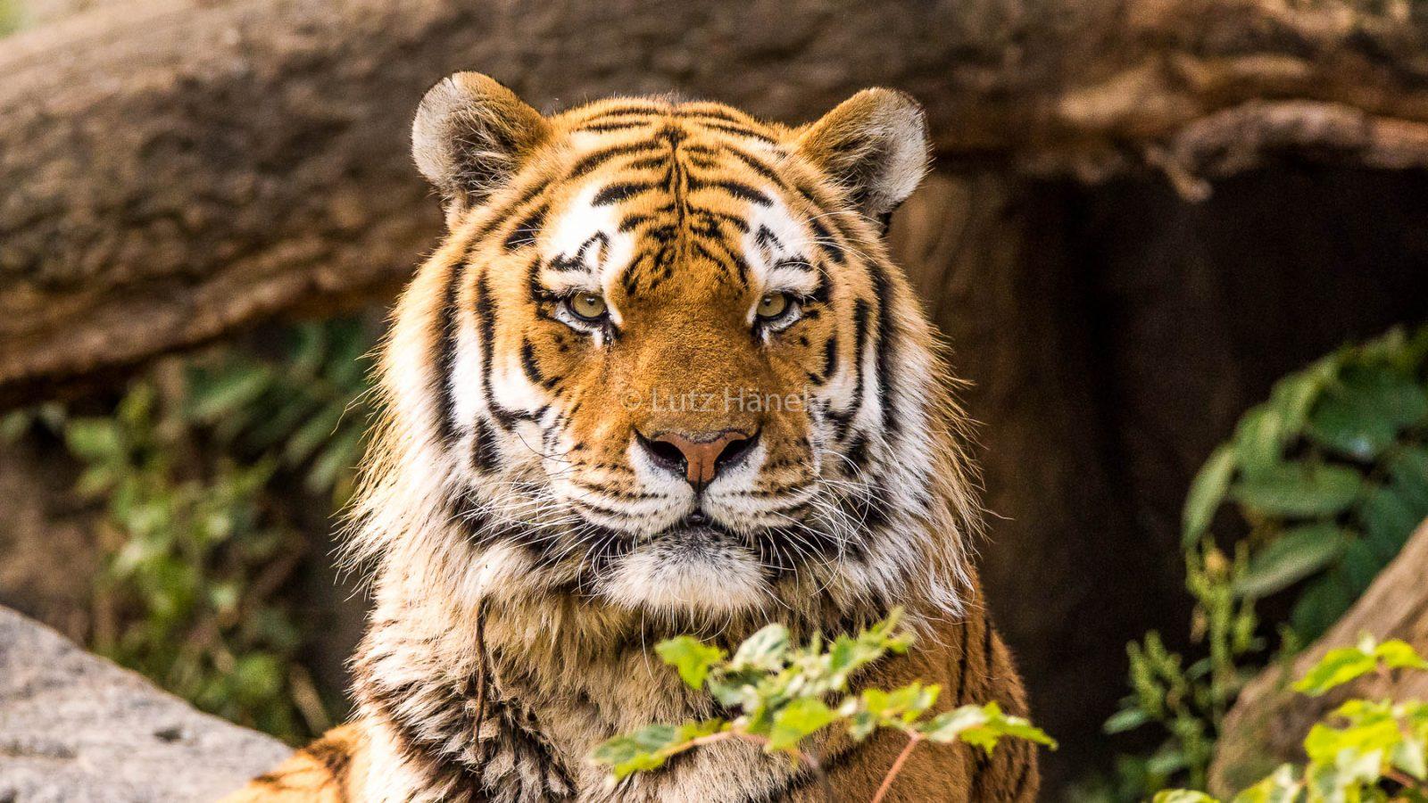 Fotos vom Sibirischen Tiger