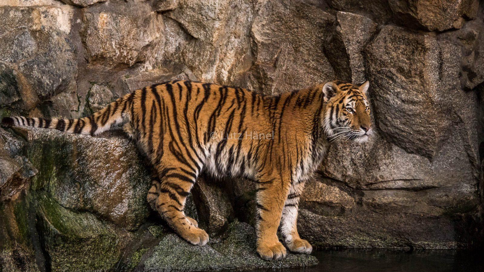Sibirischer Tiger Foto ist im Tierpark Berlin entstanden