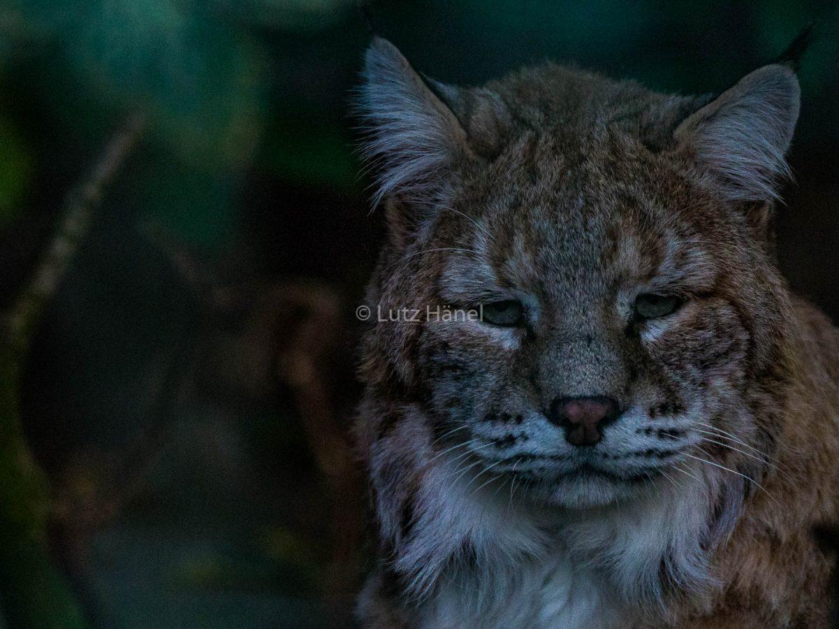 wald Katze