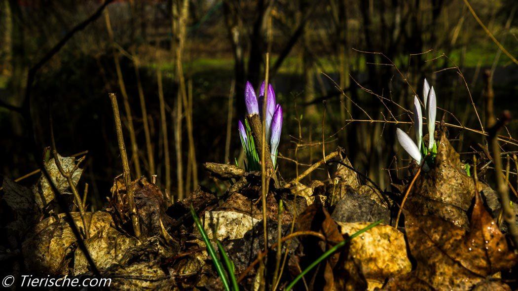 Krokusse blühen schon zeitig im Frühjahr