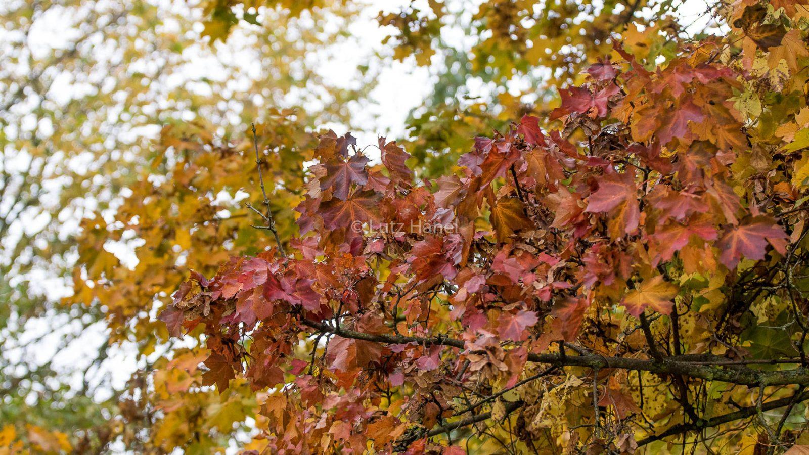 Herbstfarben verwandeln jedes Jahr im Herbst den Mauerwsg in einen Fazbenmeer.