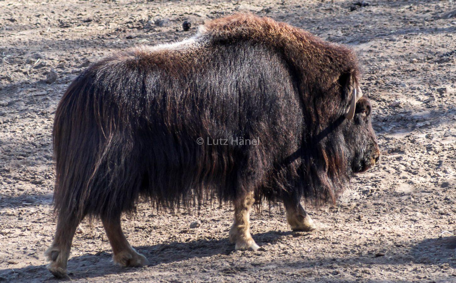 Büffel sind imposnte Tiere