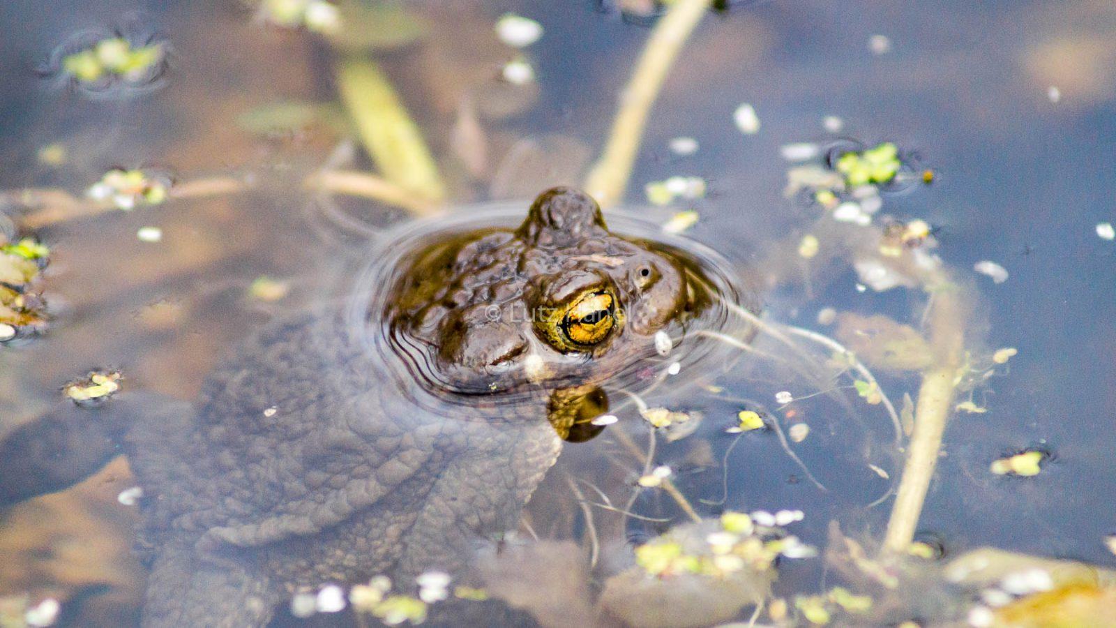 Erdkröte im Wasser im frühen Frühjahr