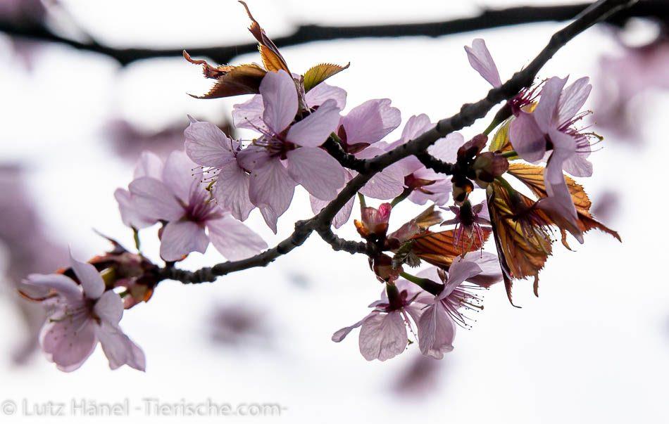 japanische Kirschblüten der Frühlingszauber