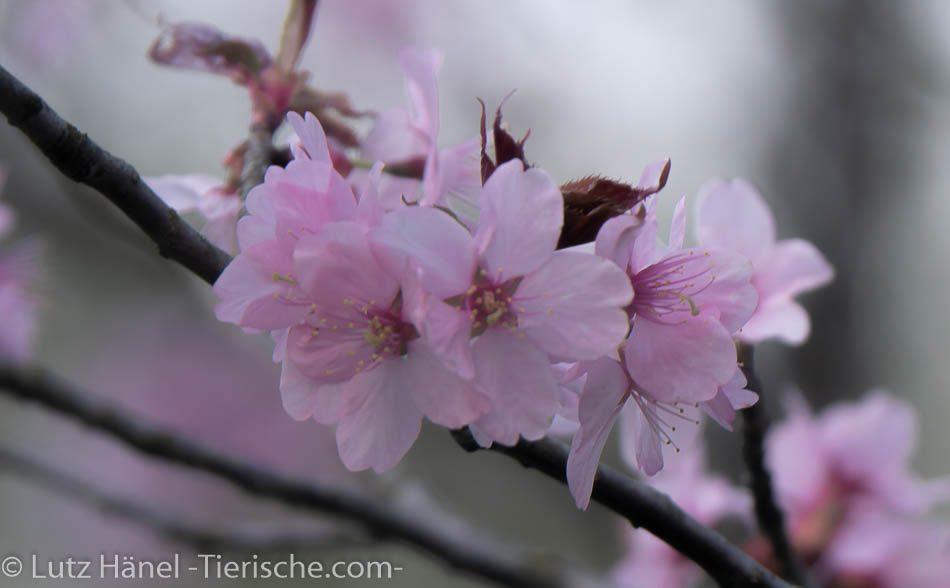 Berliner Parks sind jedes Jahr im Frühjahr in ein Hauch rosagetaucht