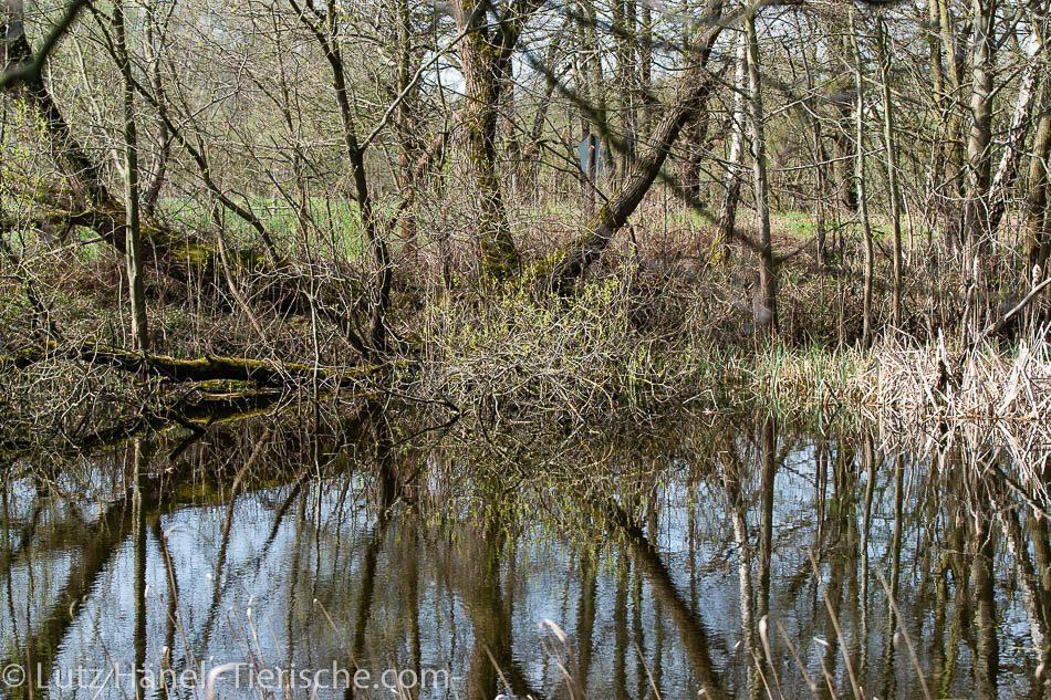 Hier ein Foto der vielen Teiche des Naturschutzgebiet Schönerlinder Teiche bei Mühlenbeck-Mönchmühle bei Berlin.