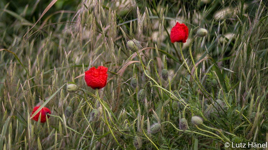 Gräser und Mohnblüten am Mauerweges Rand