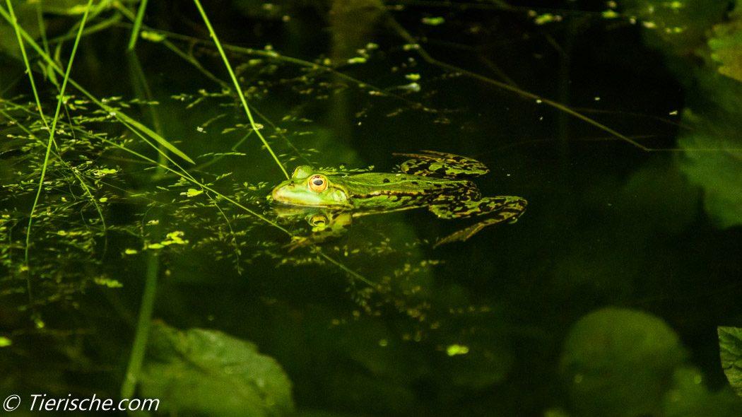 Im Frühjahr gibt es kostenlose Froschkonzerte. am Heidekampgraben!