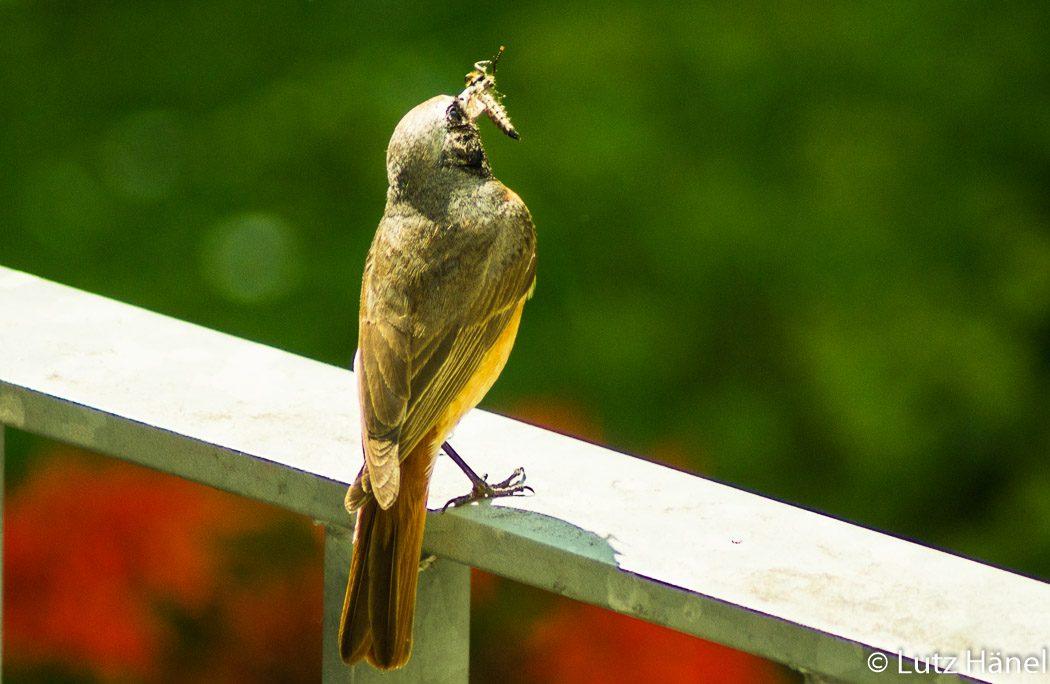 Gartenrotschwanz auf Park Posion wartet bis er sein Futter den Jungen bringen kann.