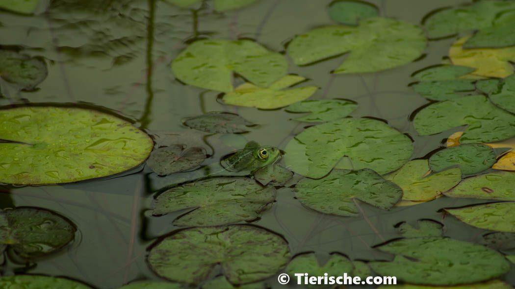 Foto - Frosch in den Seerosen im Botanischer Garten