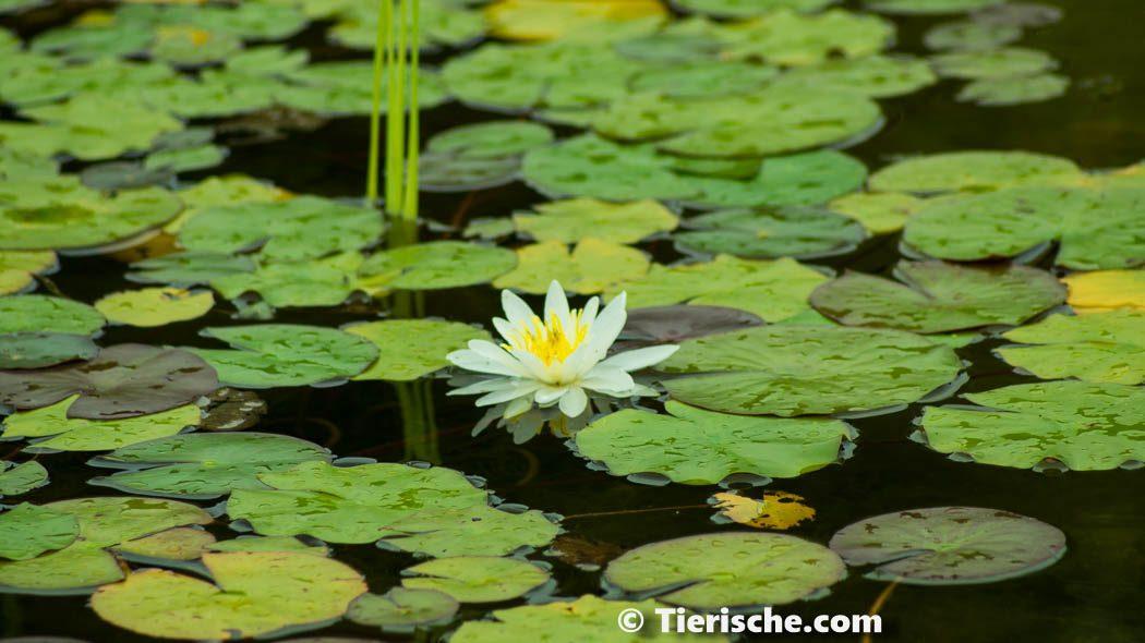 Foto von eine Seerosen Blüte im Botanischer Garten.