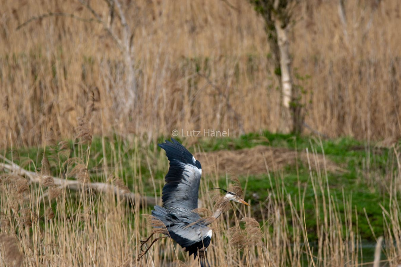 Schönerlinder Teiche Fischreiher im Anflug auf den Teich