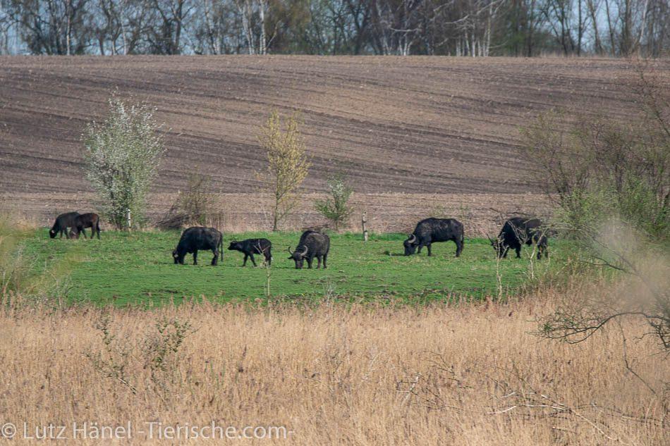 Foto von der Wasserbüffel Herde an den Schönerlinder Teiche.