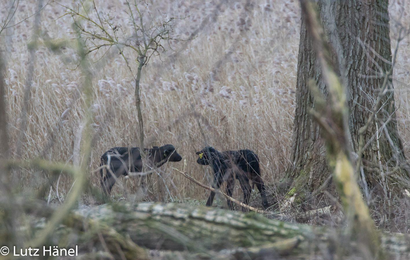 die jüngsten Kälber bei den Wasserbüffel und Wildpferde des Jahres 2018 im