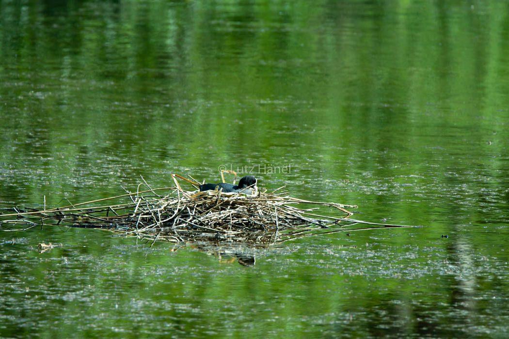 Blesshuhn Nest im Teich im Naturschutz Gebiet Karower Teiche.