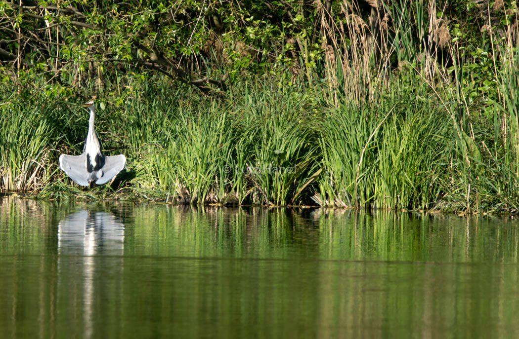 Fischreiher Karower Teiche