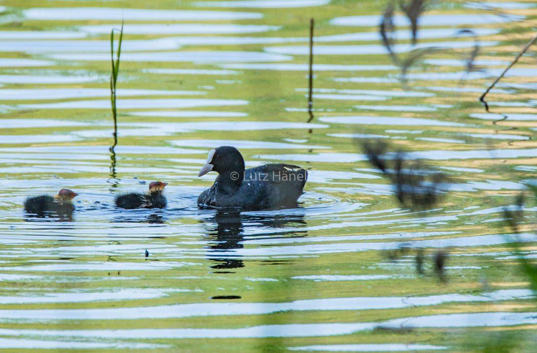 Blesshuhn unteregst mit ihre wenige Tage alten Kücken im Naturschutzgebiet Karower Teiche.