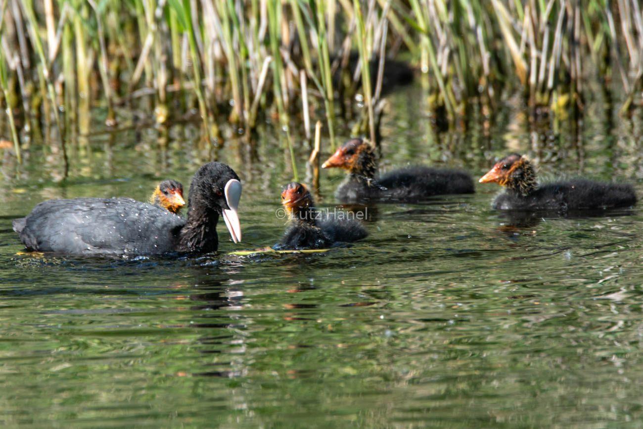 Blesshuhn Familie auf Teich
