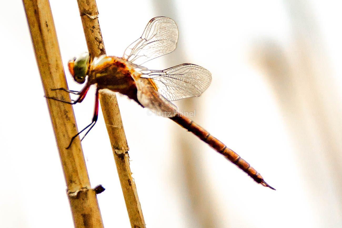 Foto Große Heide Libelle im Schilf