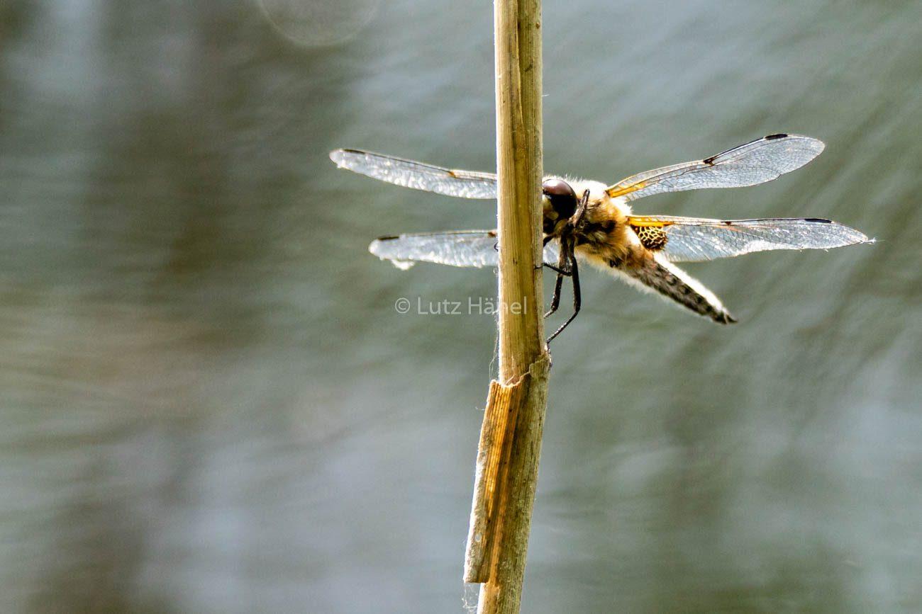 Foto Serie Große Heide Libelle