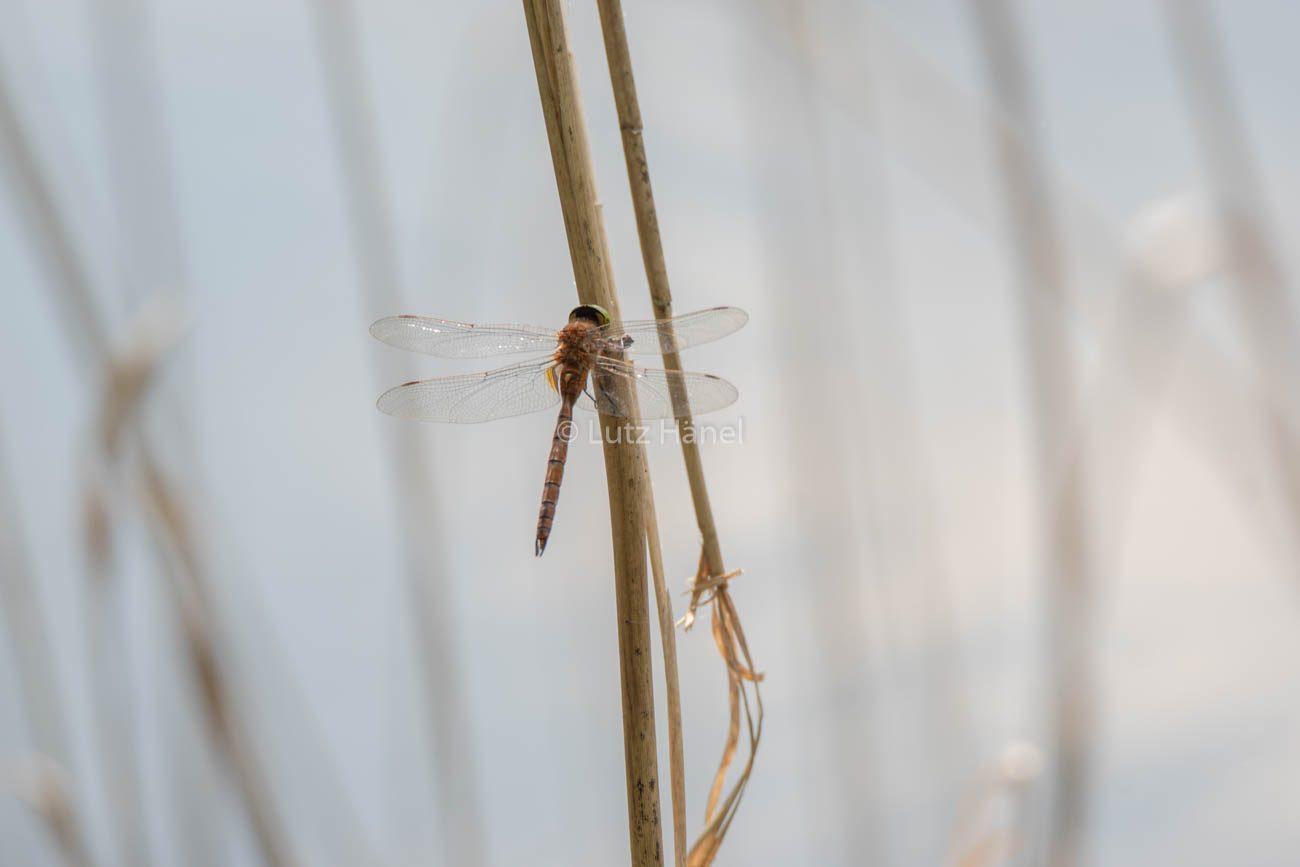 Große Heide Libelle