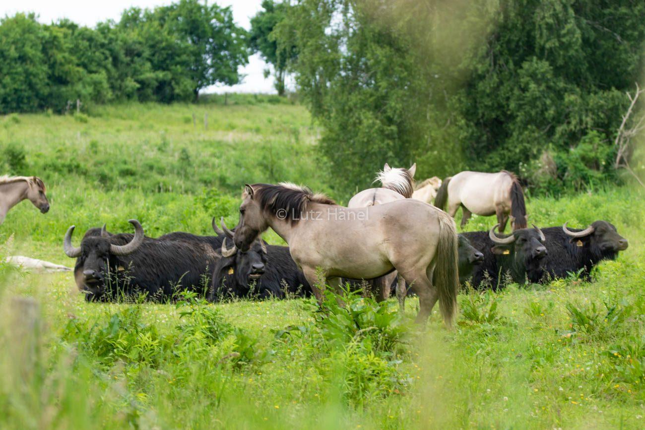 Wasserbüffel einträchtig mit den Konik Wildpferden