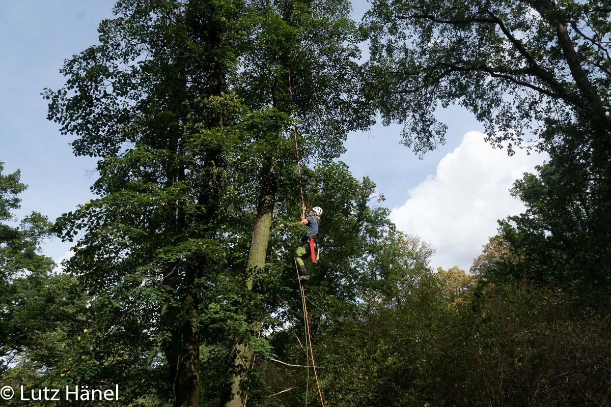 Die Seilklettertechnik ist bei der Baumpflege sehr Boden schonend kein Einsatz von schweren Teuren Fahrzeugen.
