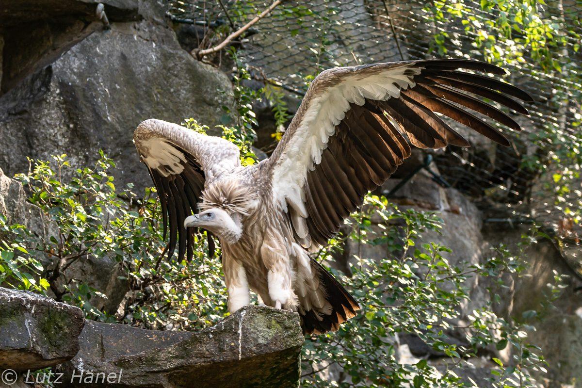 Die Flügelspannweite von Gänsegeier kann bis zu 270 cm betragen