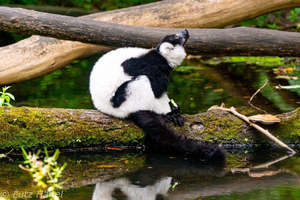 Der Lebensraum der Schwarzweißen Vari ist in den Regenwäldern von Madagaskars Ostküste.