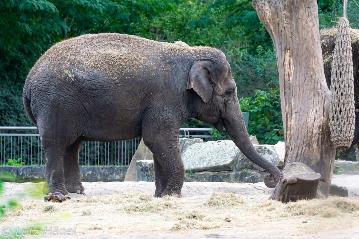 Der Asiatischer Elefant das größte Landsäugetier Asiens .