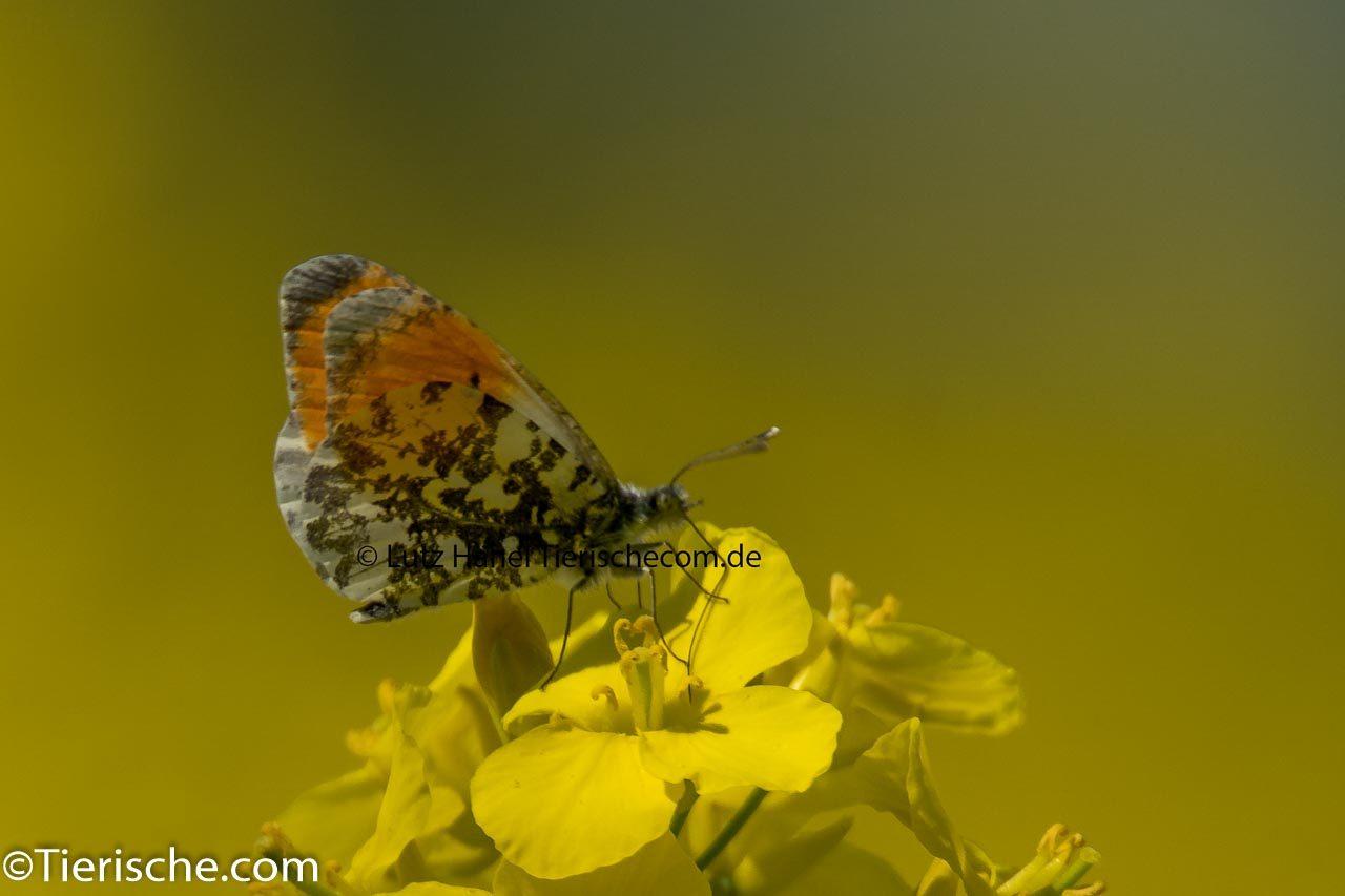 Schmetterling Aurorafalter - Zierlicher Wald-Schmetterling