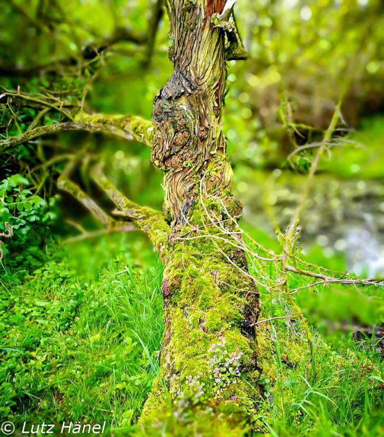 Alter Baum bewachsen mit Moos