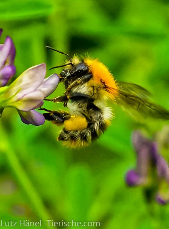 Biene - Tierfoto Galerien